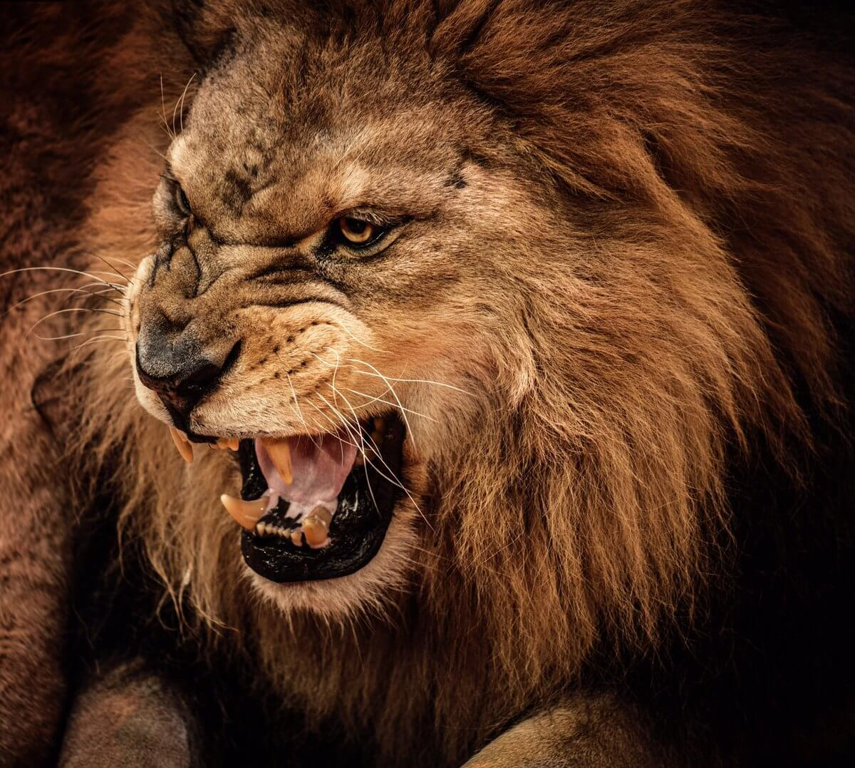 roaring male lion