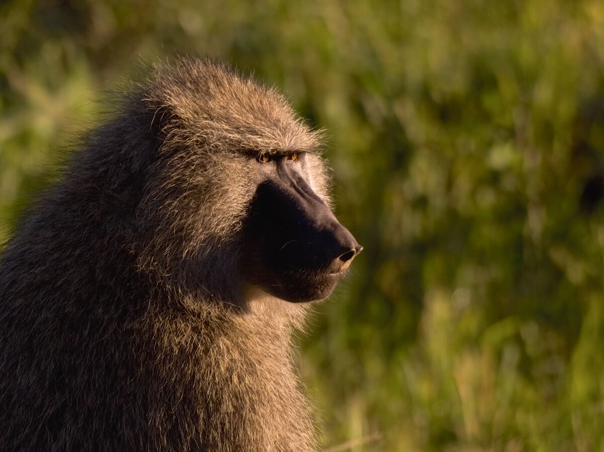 Baboon in the wild