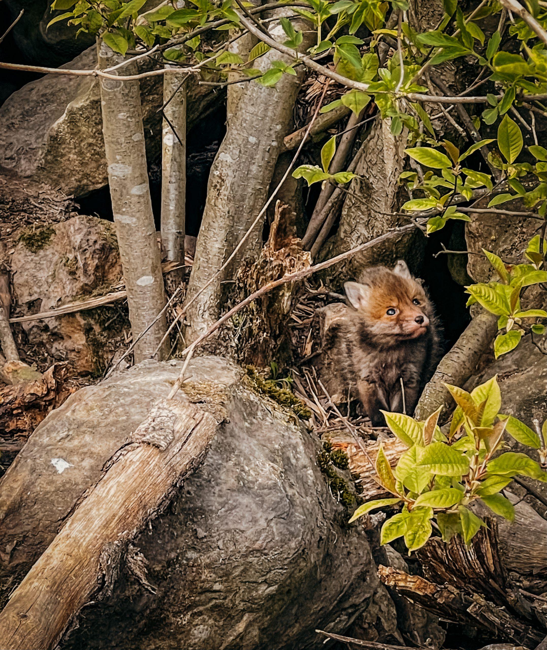 Der kleine Fuchswelpe
