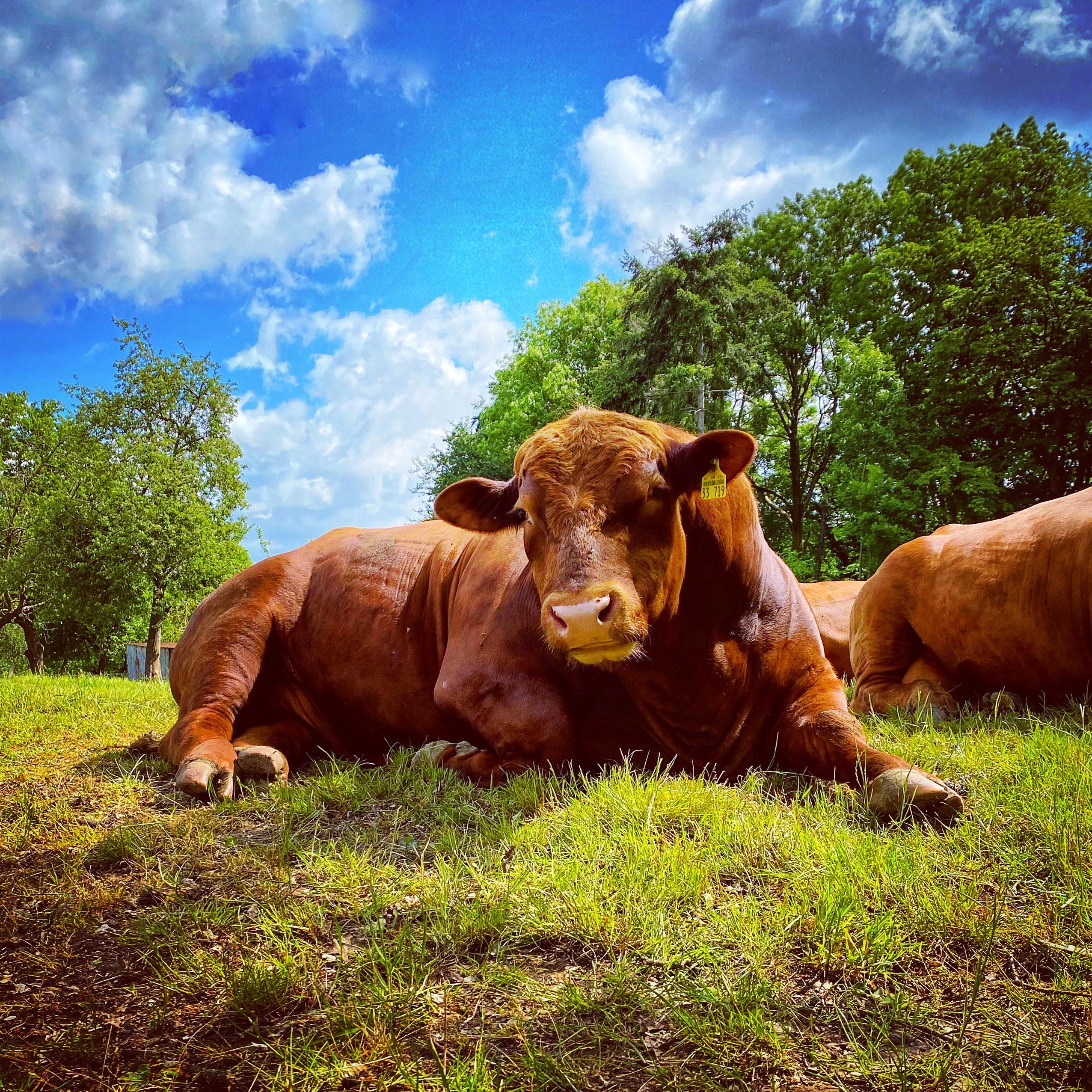 Chillende Kühe am Elisabethpfad
