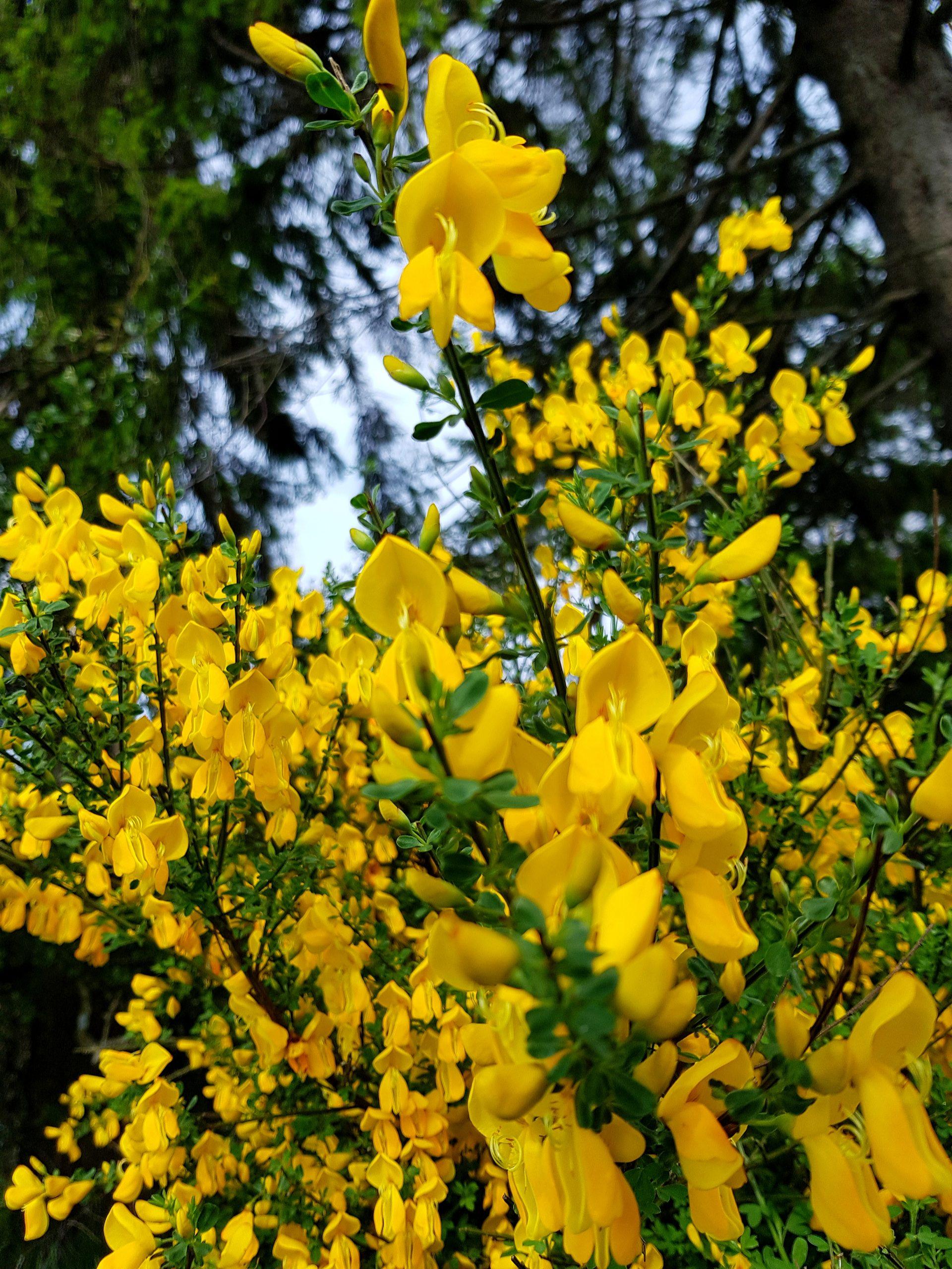 Besenginster - Schönheit in leuchtendem Gelb