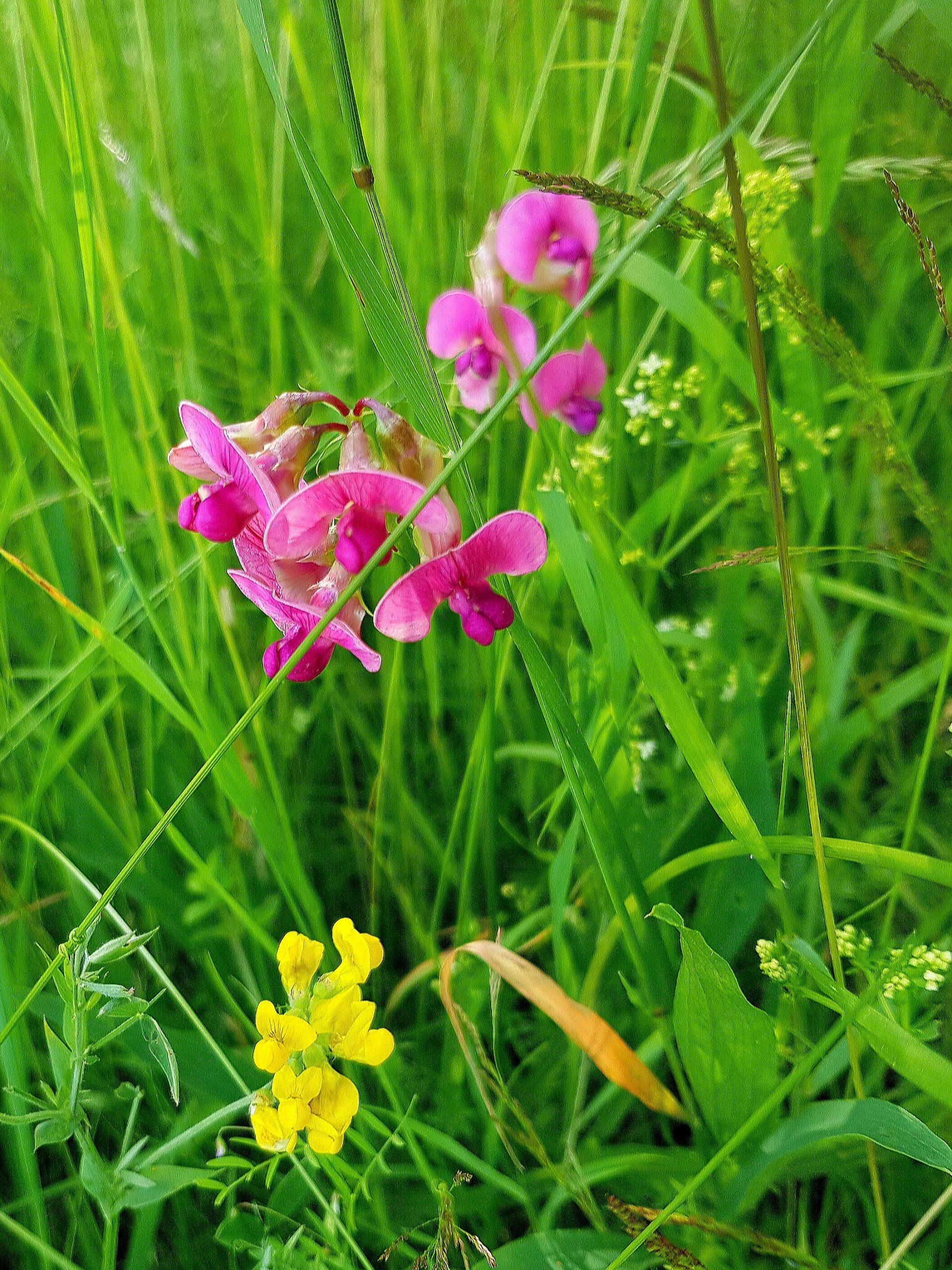 Kleine Schönheit in Pink - Wilde Platterbse (Lathyrus sylvestris)