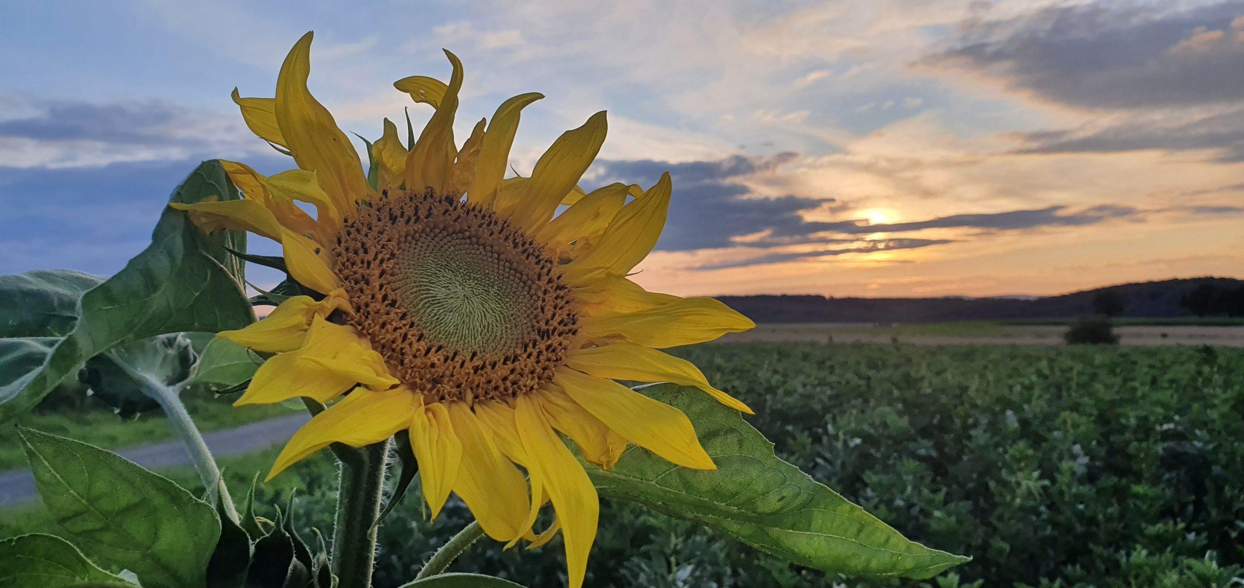 Sonnenblume im Sonnenuntergang