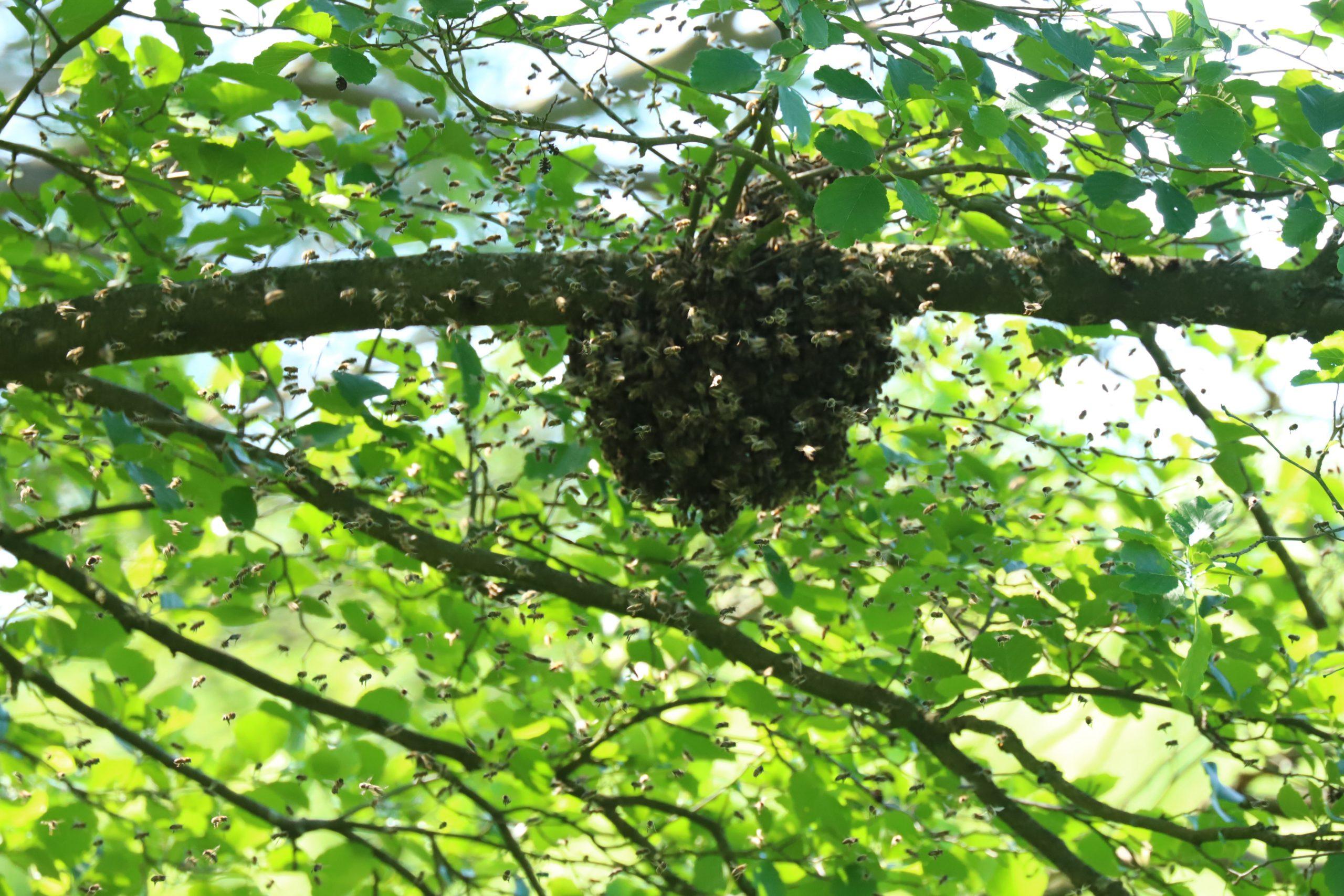 Ein Bienenvolk unterwegs