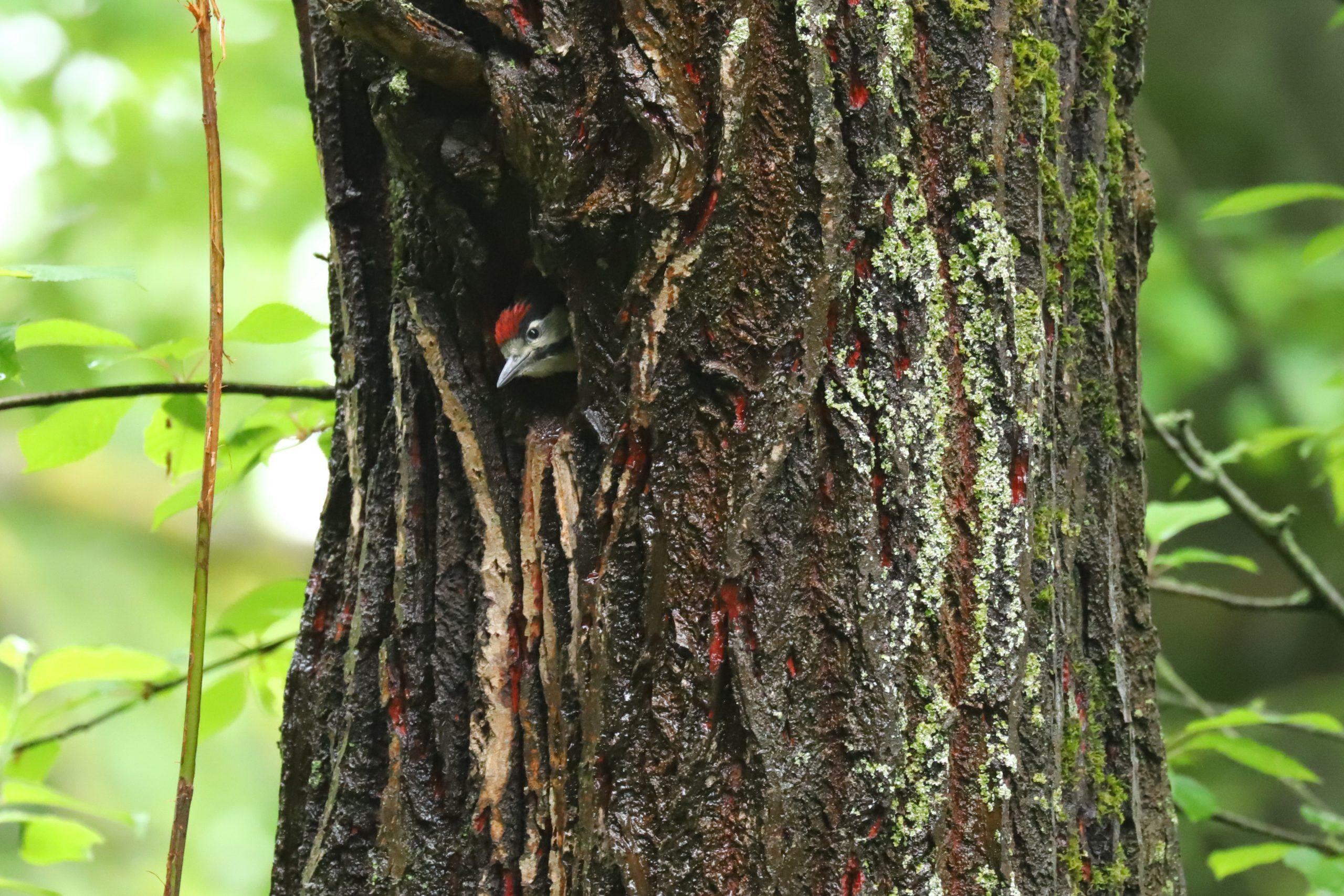 Junger Buntspecht in einer Baumhöhle
