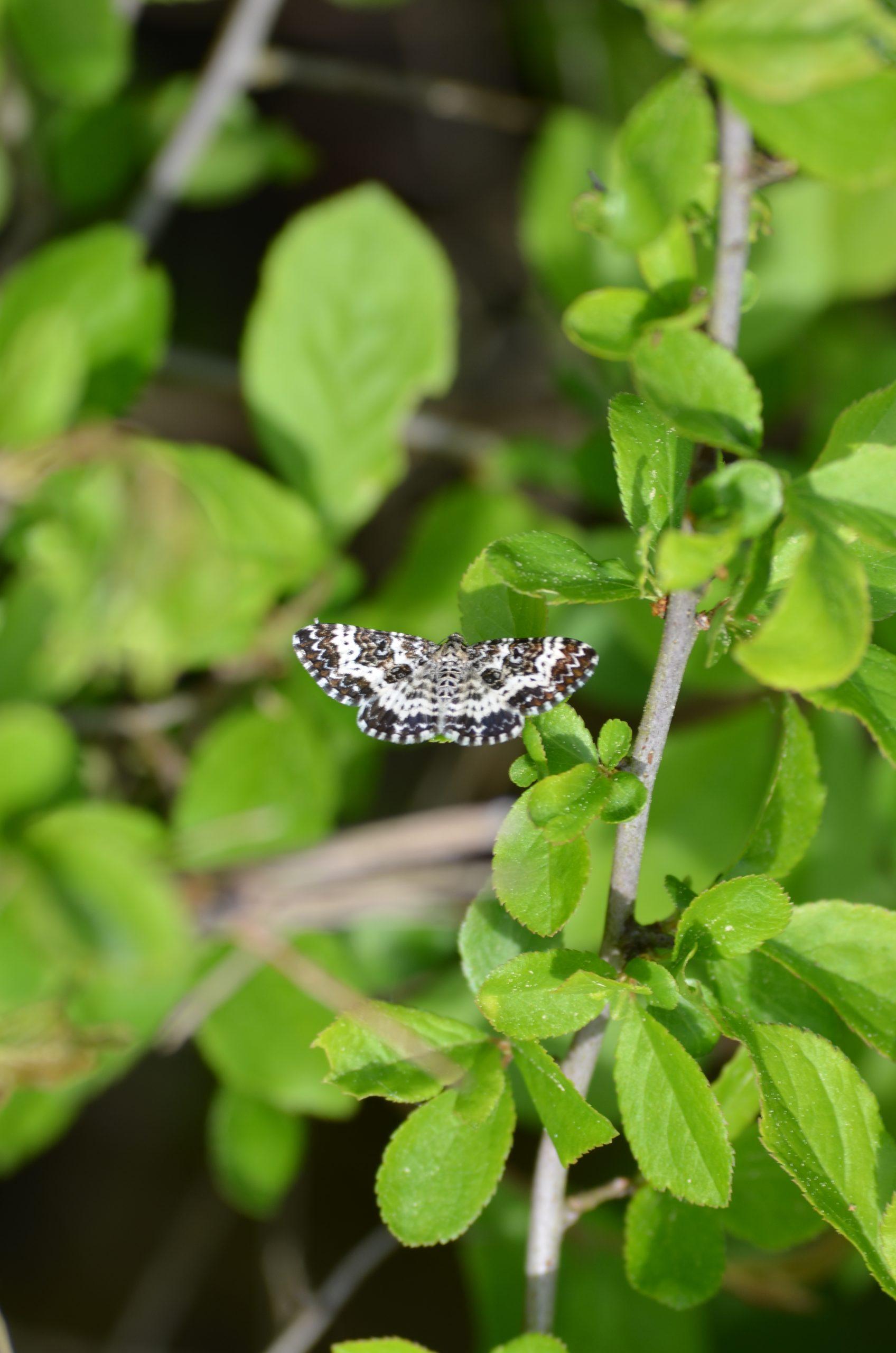 Schmetterling am Waldrand Schellbach