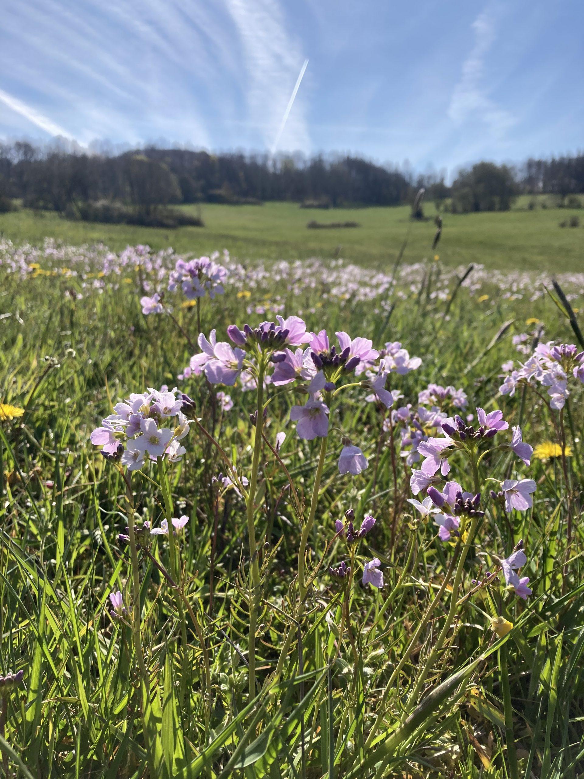 Blumenwiese am Eisenberg